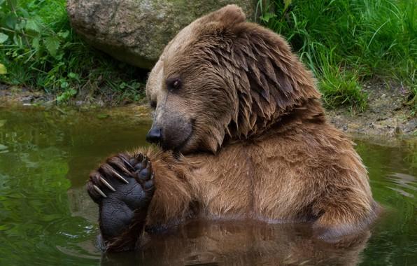 Картинка лето, трава, взгляд, морда, вода, поза, берег, лапы, медведь, купание, мишка, когти, водоем, купается, дикая …