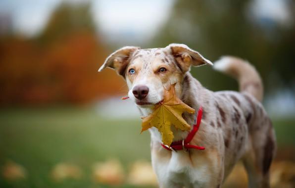 Картинка осень, взгляд, морда, листья, природа, фон, листва, листок, портрет, собака, кленовый, пятнистая