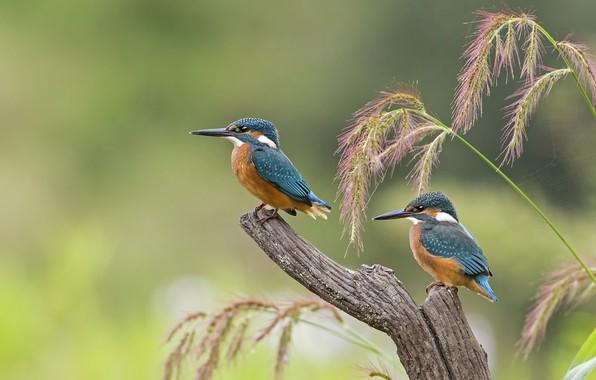 Картинка птицы, клюв, птенец, зимородок