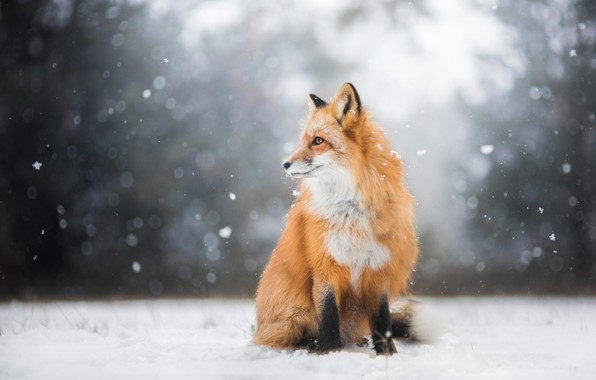 Картинка зима, лес, взгляд, свет, снег, природа, поза, фон, лиса, профиль, рыжая, сидит, снегопад, лисица