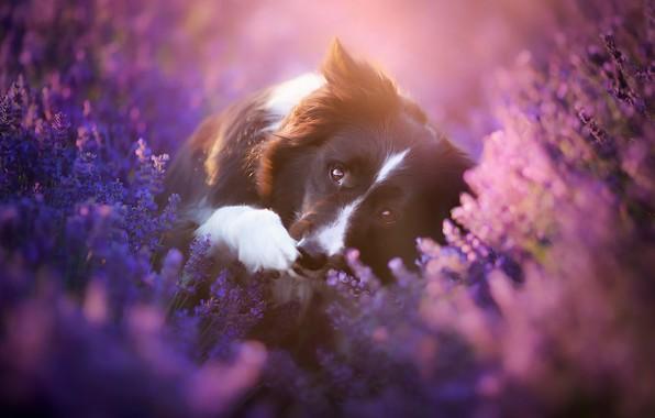 Картинка поле, взгляд, морда, свет, цветы, поза, лапа, черно-белая, портрет, собака, лежит, лаванда, бордер-колли, сиреневый фон, …