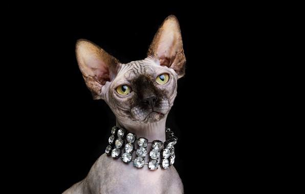 Картинка кошка, взгляд, портрет, мордочка, чёрный фон, колье, Донской сфинкс, Наталья Ляйс