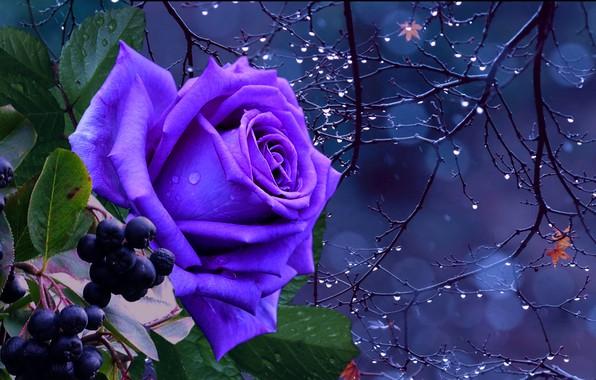 Картинка осень, капли, ночь, роза, синяя
