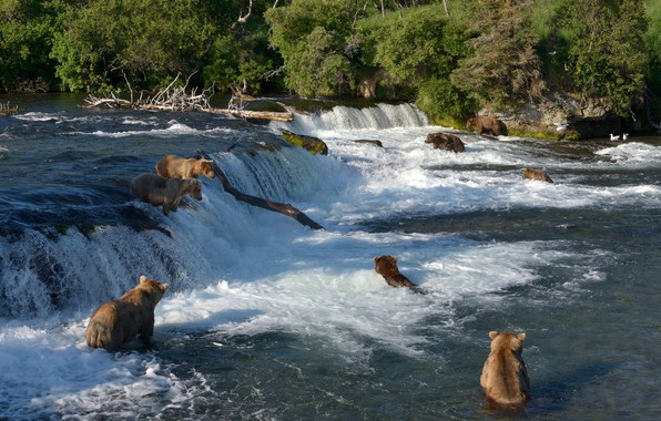 Картинка река, рыбалка, водопад, медведи, Аляска, купание, Alaska, Katmai National Park, Национальный парк Катмай, Brooks Falls, …