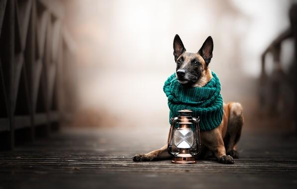 Картинка мост, собака, шарф, фонарь, боке, Малинуа, Бельгийская овчарка