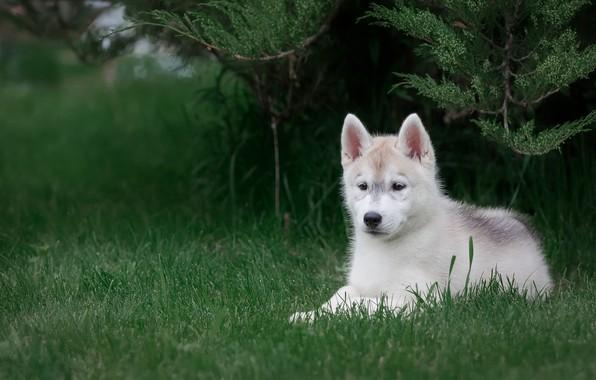 Картинка белый, трава, взгляд, ветки, природа, поза, зеленый, парк, фон, собака, малыш, милый, щенок, лежит, мордашка, …