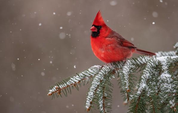 Картинка снег, фон, птица, ветка, Красный кардинал