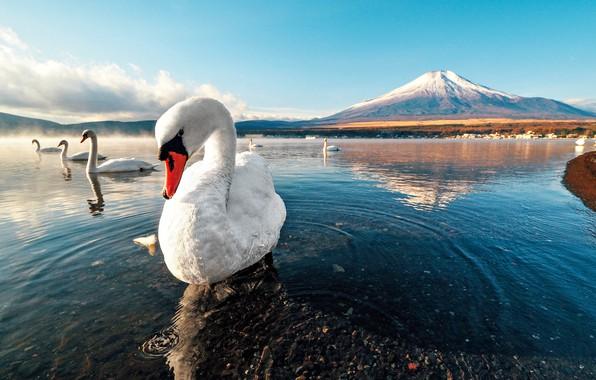 Картинка swan, sunset, mountain, lake, snow, dawn