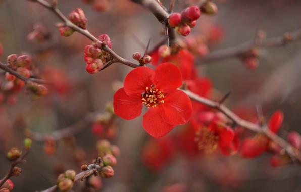 Картинка цветы, ветки, ветка, весна, красные, цветение, весеннее