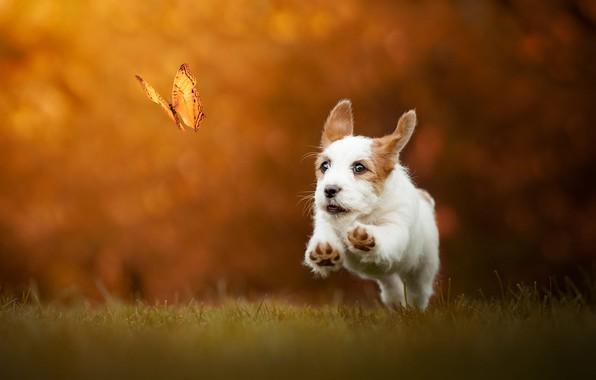Картинка осень, трава, взгляд, морда, полет, радость, оранжевый, природа, поза, фон, прыжок, бабочка, поляна, собака, позитив, …