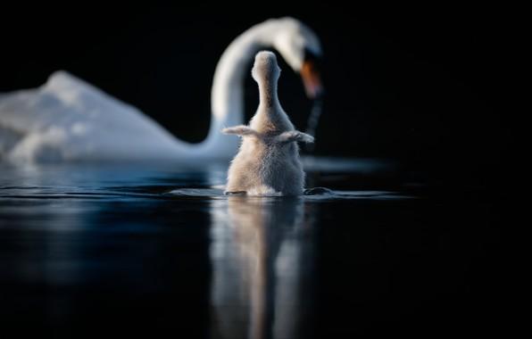 Картинка вода, птицы, малыш, лебеди, птенец, лебедёнок
