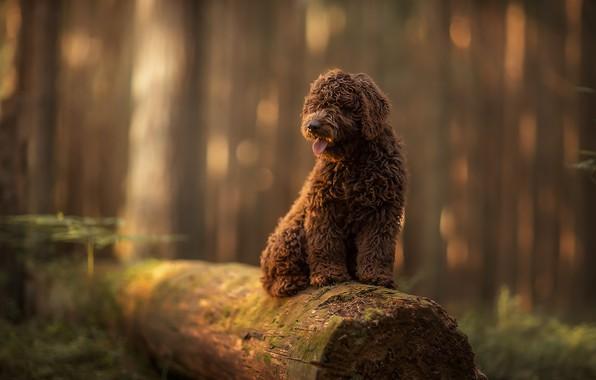 Картинка лес, природа, животное, собака, бревно, пёс