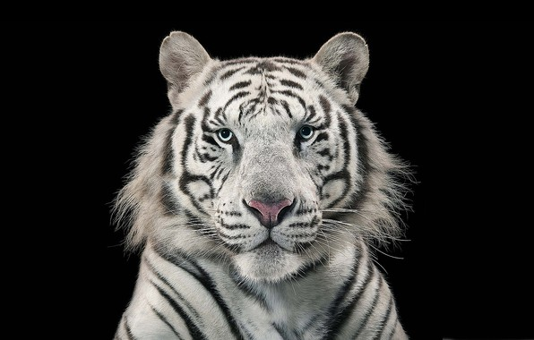 Картинка white, tiger, bengal tiger