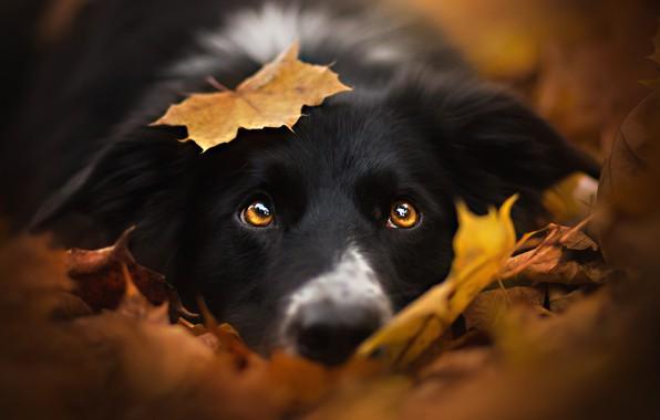 Картинка осень, взгляд, морда, листья, листок, собака, черная, бордер-колли