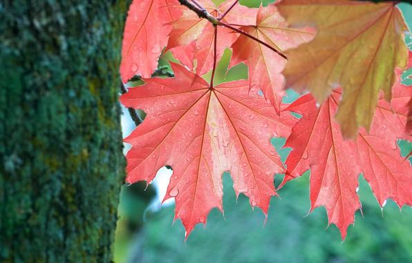 Картинка осень, листья, дерево, листок, ствол, клён, кленовые листья, осенние, листья клёна, краснеющие