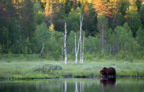 Картинка лес, река, берег, медведь, бурый
