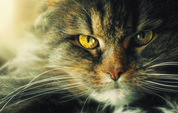 Картинка кошка, глаза, кот, взгляд, морда, крупный план, серый, портрет, желтые, шерсть, пушистый, зеленые, злой, недовольный, ...