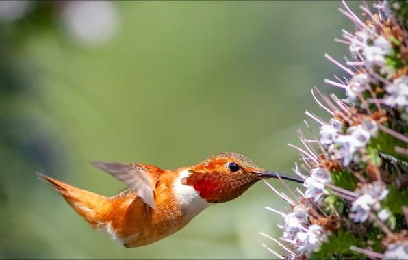 Картинка flower, nature, bird, Animals, hummingbird