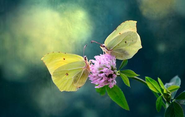 Картинка цветок, природа, Бабочки, клевер