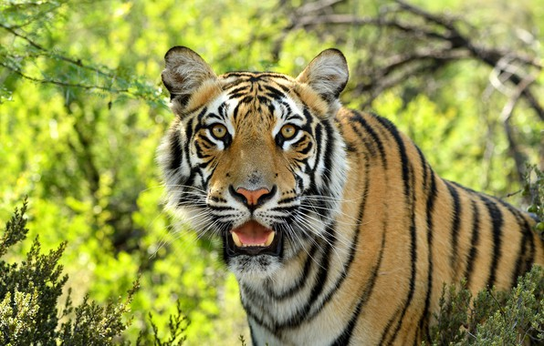 Картинка взгляд, морда, тигр, хищник, дикая кошка