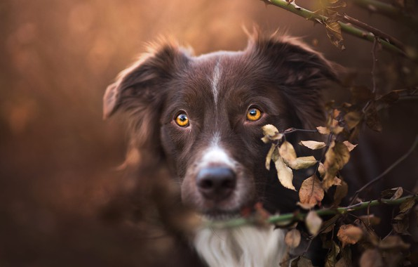 Картинка осень, взгляд, морда, листья, ветки, фон, портрет, собака, коричневый, коричневая, желтые глаза, бордер-колли