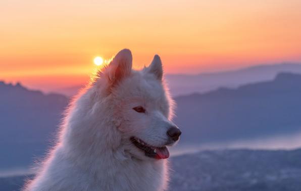 Картинка морда, закат, Самоед, Самоедская собака