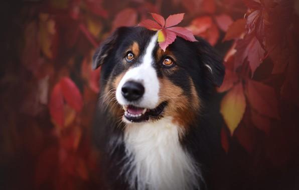 Картинка осень, язык, глаза, взгляд, морда, листья, ветки, природа, фон, листва, листок, черно-белая, портрет, собака, красные, …