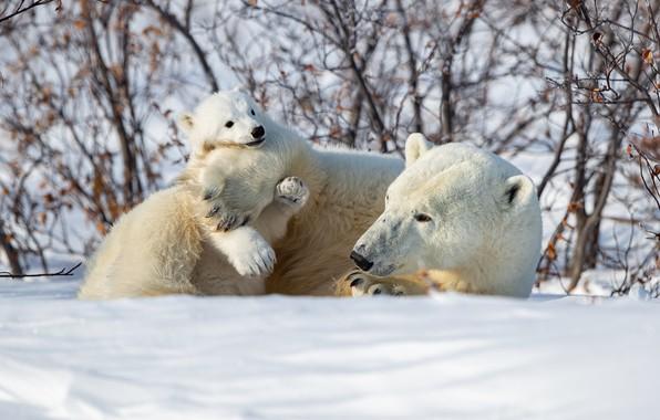 Картинка зима, снег, медвежонок, кусты, медведица, Белые медведи, Полярные медведи