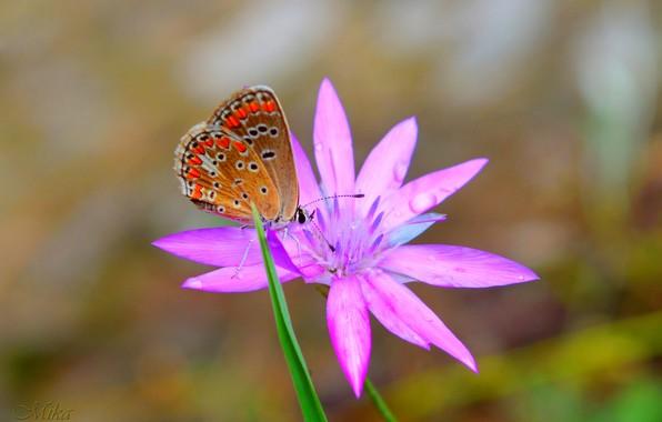 Картинка Макро, Бабочка, Цветок, Flower, Macro, Butterfly