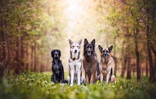 Картинка зелень, лес, собаки, лето, трава, взгляд, свет, деревья, природа, поза, парк, фон, вместе, листва, команда, …