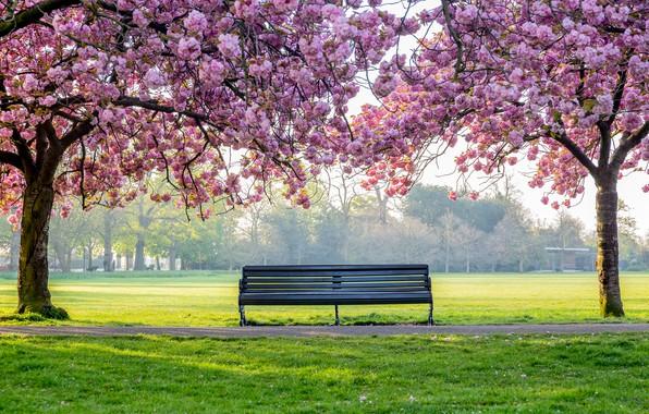 Картинка деревья, цветы, парк, весна, цветение, pink, blossom, park, tree, spring, bench