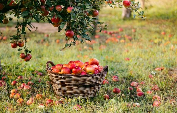 Картинка ветки, фото, корзина, яблоки
