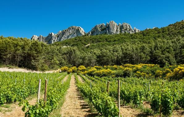 Картинка поле, лес, небо, солнце, деревья, горы, скалы, Франция, кусты, плантация, Provence