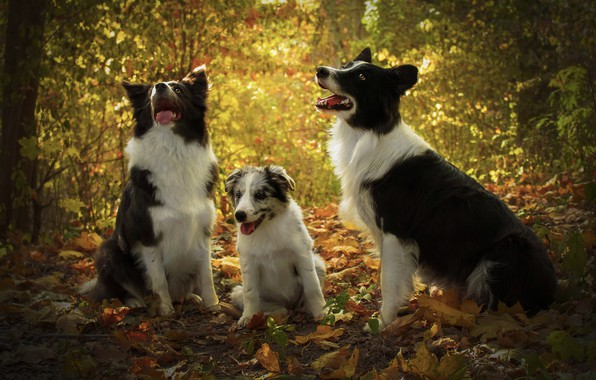 Картинка осень, лес, язык, собаки, взгляд, листья, свет, ветки, природа, листва, малыш, щенок, три, компания, трио, …