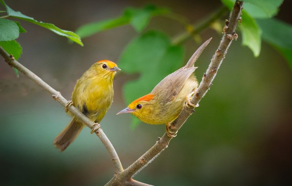 Картинка птицы, ветка, парочка, болтун с рыжими шапками