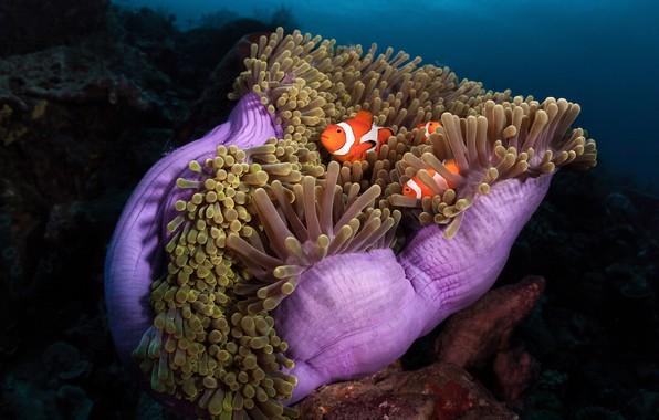 Картинка море, рыбы, океан, рыба, под водой, актинии, коралловые полипы, морские анемоны, Рыбы-клоуны, амфиприоны