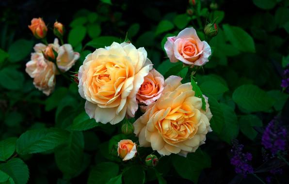 Картинка цветы, куст, розы