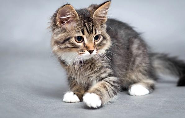 Картинка кошка, кот, фон, мордочка, котёнок, боке