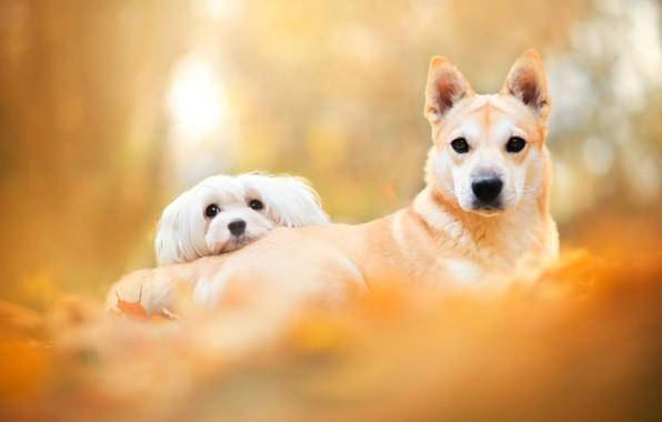 Картинка осень, собаки, взгляд, листья, свет, желтый, поза, парк, фон, две, пара, белая, оранжевые, парочка, друзья, …