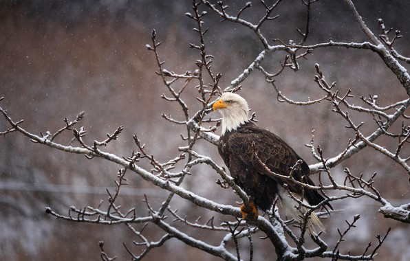 Картинка зима, взгляд, снег, ветки, природа, поза, фон, дерево, птица, орел, снегопад, белоголовый орлан, сидит на …