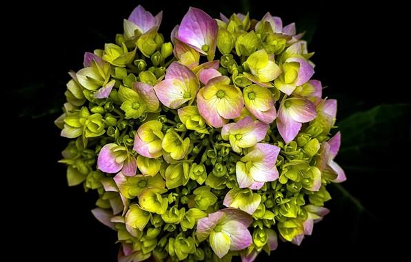 Картинка цветы, герберы, чёрный фон