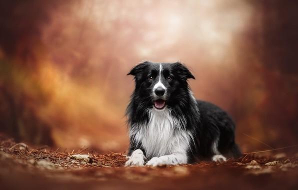 Картинка осень, лес, язык, взгляд, морда, свет, деревья, природа, поза, парк, фон, настроение, черно-белая, портрет, собака, …