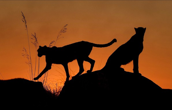 Картинка night, two, Cats, shilouette