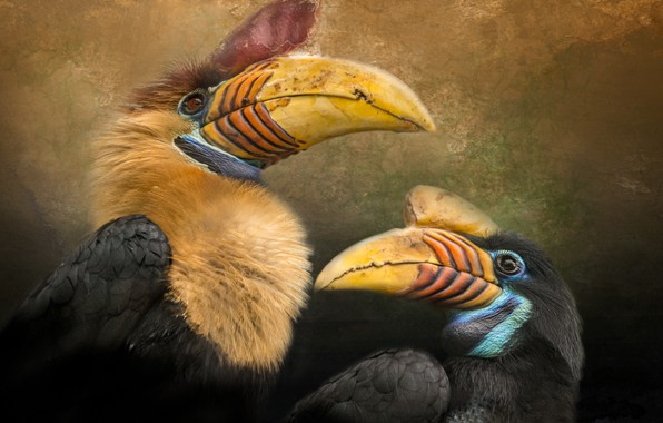 Картинка птицы, клюв, пара, калао