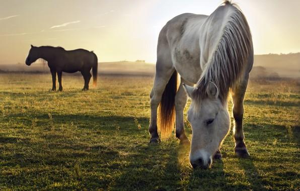 Картинка поле, белый, небо, трава, свет, природа, поза, туман, серый, конь, лошадь, кони, утро, лошади, пастбище, ...