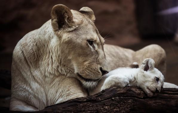 Картинка взгляд, морда, поза, темный фон, дерево, две, портрет, лежит, профиль, белая, дикие кошки, львица, детеныш, …