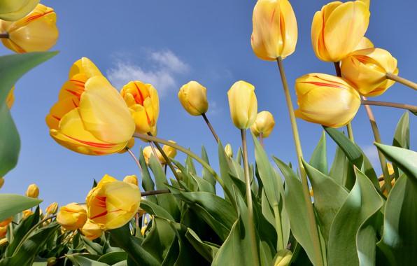 Картинка небо, цветы, природа, тюльпаны