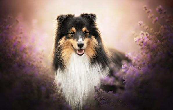 Картинка взгляд, морда, собака, лаванда, боке, Шелти, Шетландская овчарка