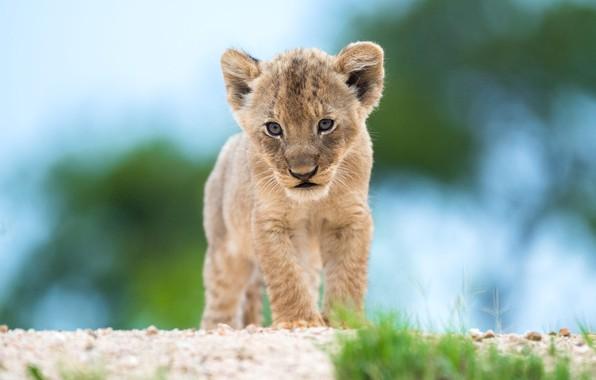 Картинка трава, взгляд, поза, фон, голубой, лев, малыш, мордашка, детеныш, дикая кошка, львенок, львёнок, боке