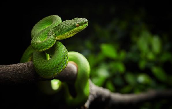 Картинка лес, змея, ветка, Китай, охота, гадюка, Trimeresurus stejnegeri, куфия Штейнегера